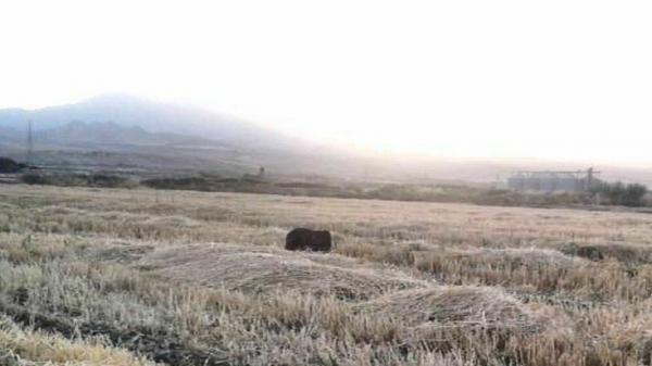 رهاسازی توله خرس قهوه ای در زیستگاه های طبیعی شهرستان دالاهو